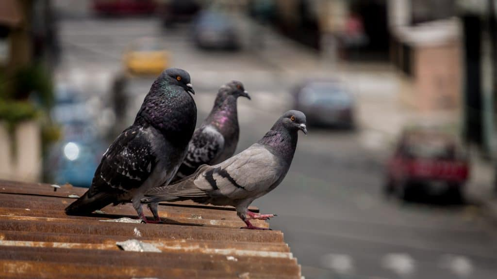 Werden Sie Taubenkot schnell los